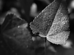 After the rain (Ce Rey) Tags: nature macro naturaleza insect insecto leaf leaves hojas gotas drops bokeh bw blackandwhite monocromo blancoynegro canoneos80d ef100mmf28lmacroisusm plant planta agua water