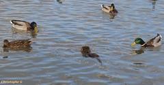 Tiens, un canard à poils...(Parc ornitho Pont de Gau - Camargue - 16 février 2019) (Carnets d'un observateur de la nature du Sud de la) Tags: canardcolvert oiseau ragondin nature biodiversité pontdegau camargue bouchesdurhône provence