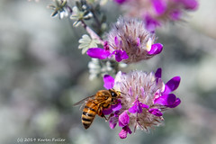 Honey bee on Dalea shrub. It's in the pea family! (kfullerwa) Tags: nikond7500 shrub honeybee purple bokeh macro