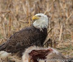 Bald Eagle with a Meal (Mellon 99) Tags: mellon99photography morning nature birds bird birdofprey eagles eagle davemellon delaware feathers flight animals avian america baldeagle raptor