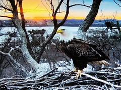 Justice 3-13-2019 (1) - SCREENSHOT - (THE Halloween Queen) Tags: eagles eagle wildlife bald baldeagles nationssymbol patriotic