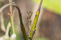 IMG_4419 camouflage,  尺蛾科 Geometridae (vlee1009) Tags: 2019 60d canon march nantou taiwan nature camouflage moths caterpillars