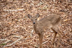 DILO - March 20 2019 Equinox (16) (tommaync) Tags: dilomar2019 equinox spring 2019 march nikon d7500 northcarolina nc dilo nature animals wildlife deer trees doe