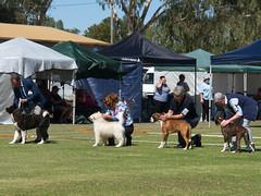 Cohuna dog show (5) (Boobook48) Tags: australia dogshow cohuna victoria