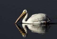 White Pelican (Susan Newgewirtz) Tags: nikond850 nikon whitepelican wildlifephotography wildlife birds reflection