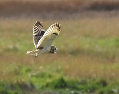 Short eared owl (Lancs & Lakes Outback Adventure Wildlife Safaris) Tags: nikon d7200 sigma contemporary 150600mm owl shortearedowl parkgate wirral cheshire wings flight