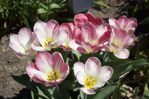 Toronto Ontario - Canada - Allan Gardens Conservatory - Toronto Tropical Garden -  Spring Tulip Cluster  Macro