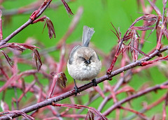 American Bushtit (Psaltriparus minimus) (Bugldy99) Tags: bird ornithology tree branches animal