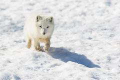 Arctic Fox (dwb838) Tags: arcticfox parcomega walking snow