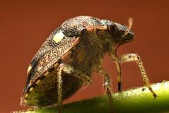 Shield bug (Craig Tuggy) Tags: thailand bangkok shield bug proboscis stylet macro reverse lens