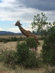 IMG_1647 (suuzin) Tags: masai mara safari