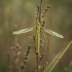 Langpootmug - Crane Fly (Roland B43) Tags: tipule schnaken los tipúlidos storstankelbein koziułkowate lószúnyogok tipulidae langpootmug insect macro laowa60mmmacro