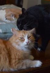 Batman is a good big brother (rootcrop54) Tags: jimmy orange ginger tabby male cat batman tuxedo males boys cats grooming catbed otis dilute satisfaction friends neko macska kedi 猫 kočka kissa γάτα köttur kucing gatto 고양이 kaķis katė katt katze katzen kot кошка mačka gatos maček kitteh chat ネコ