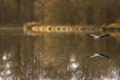 Vol planant (David Bertholle) Tags: cigogne bird wild ain dombes beautifullight nature animals lake etang