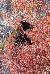 "Grand Teton National Park (Steve Clarridge) Tags: ""blackbear"" bear grandtetonnationalpark tetons wyoming usa nationalparks mountains"