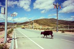 Across the Road (hiphopmilk) Tags: copyright©jaredyehwooehmoehfilms konica offroad 現場監督 zoom 35mm 135film film analog analogue jaredyeh hiphopmilk kodak travel china sichuan aba hongyuan tibetan qiongxi yak bull cattle road street town city truck vehicle across
