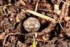 Armadillidium vulgare (lloyd177) Tags: armadillidium vulgare wiltshire woodlouse