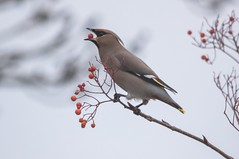 Waxwing (explored) (Anne Richardson) Tags: hampshire totton waxwing bird winter wildlife nature