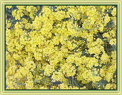 Dainty Mellow Yellow (bigbrowneyez) Tags: flowers dainty tiny beautiful fiori belli bellissimi delightful pretty precious fabulous fantastic gorgeous amazing delicate sweet picollini nature natura petals striking stunning soft light frame cornice closeup mellow yellow daintymellowyellow sunny bright yellowbasketsedum