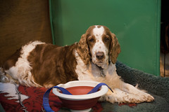 Diary_2016_039 (evinrisca) Tags: crufts welsh springer spaniel dogshow wsscsw