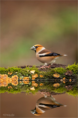 Reflection of a male Hawfinch (Gertj123) Tags: avian netherlands nature reflection water wildlife winter ornithology moss male bokeh bird canon hide holterberg arjantroost animal