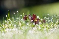 The morning dew (tonguedevil) Tags: outdoor outside countryside winter field meadow nature grass leaf dew droplets bokeh fresh morning light sunlight colour shadows sparkling