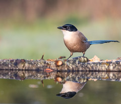 Iberian Magpie (Armin Kerstholt) Tags: wild wildlife wing wood water brown european exposure beak feather perched perch nature photography blue image iberian bird nikon birdhide birds portugal photograph algarve magpie d500 branch reflection