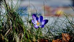 The spring comes (dl1ydn) Tags: dl1ydn garden nature spring frühling vintage crocus krokus voigtländer colorskopar 80mmf35 bokeh garten blossom blüten altglas jpeg 80mm 24x36