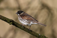 0M2A5377 Reed Bunting male (kevin_livesey) Tags: reed bunting wwt martin mere bird birdwatching nature wildlife emberiza schoeniclus