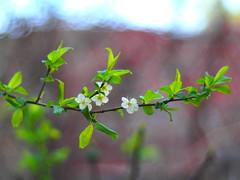 Spring is coming🌼🌼🌼 (SMJH1994) Tags: olympus em5 nikonafnikkor50mmf18d spring bokeh bloom smjh1994 mohamadjavadhsn