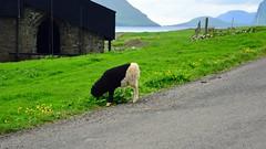 Black'n'white (mikael_on_flickr) Tags: blacknwhite bw bn sh sorthvid schwarzweiss får sheep scharf pecora føroyar færøerne faroeislandsisole faroe kirkjubjø gras grass græs erba