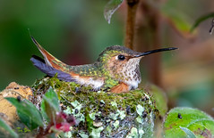 Allen's Hummingbird (Thy Photography) Tags: hummingbirdnest nest allen'shummingbird hummingbird wildlife animal nature outdoor backyard california bird sunrise sunset dawn dusk sunshine thyphotography