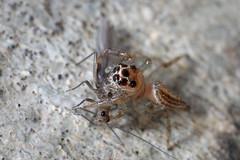jumping spider with prey (myriorama) Tags: jumpingspider araneae araneomorphae entelegynes salticidae colonus colonussylvanus