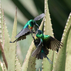 Beautiful Sunbirds fighting. (Mark Vukovich) Tags: beautiful sunbird bird fighting aggressive ndutu tanzania