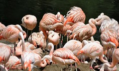 Zoo La Palmyre (claude 22) Tags: zoolapalmyre palmyre zoo france animal animaux parc park royan parcdattraction zoological sauvages wild animals flamands roses flamingo