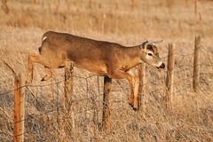 Buck Jump (Bernie Duhamel) Tags: deer buck colorado coloradowildlife wildlife cherrycreekstatepark aurora frontrange greatphotographers teamsony rockymountains sonya9 sonyfe100400mm bernie duhamel jump whitetailed