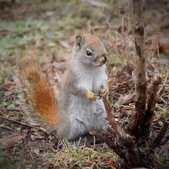 Red Squirrel Staring at Rose Bush (rgdaniel) Tags: squirrel redsquirrel twitchy rodent animals wildlife