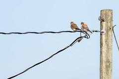 56281 - Couple de Crécerelles d'Amérique - American Kestrel Couple - Crop (xVanHovenx) Tags: crécerelle kestrel crécerelledamérique americankestrel animal oiseau bird sonya7iii sigmamc11 sigma150600mmcontemporary ciel sky