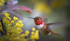 HoverBird (TW Olympia) Tags: rufous hummingbird
