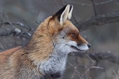 Red fox (Vulpes vulpes) Vos (Ron Winkler nature) Tags: fox vulpesvulpes vulpes vos canid canidae predator carnivore mammal mammalia nature wildlife netherlands nederland europe canon 5div 500mm
