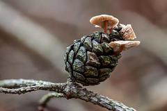 Tiny Mushrooms On A Pine Cone (R. Engelsman) Tags: fungi fungus fungo mushroom champignon pilze paddenstoel forest nature natuur autumn herfst herbst macro deloonseendrunenseduinen netherlands nederland nl canon sigma 105mm baeosporamyosura pinecone