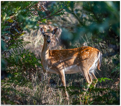 Fallow Deer (Dama dama) (Mykel46) Tags: fallow deer dama nature wildlife sony a7r3 100400mmgm
