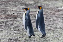 King Penguin (Linda Martin Photography) Tags: kingpenguin saundersisland spheniscidae southatlanticocean falklandislands aptenodytespatagonicus naturethroughthelens coth coth5 alittlebeauty specanimal ngc npc