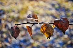 Five leaves (Stefano Rugolo) Tags: stefanorugolo pentax pentaxk5 k5 kepcorautowideanglemc28mm128 kmount bokeh colors five leaves 2019 manualfocuslens manualfocus manual vintagelens hälsingland sweden sverige happynewyear depthoffield