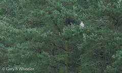 Goshawk in a Christmas tree 😁  (poor light - a distant record shot).   SEASONS GREETINGS! (Ponty Birder) Tags: g b wheeler pontybirder garywheeler birds goshawk wales accipitergentilis