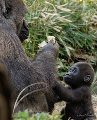 Any mother would recognize this scenario. (rsheath76) Tags: dallaszoo gorillas baby westernlowlandgorilla faces