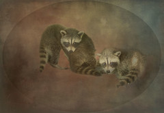 Hiding the shy one! (bonnie5378) Tags: animals racoon takeninjune2018 textured coth naturescarousel textura coth5 ngc