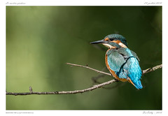 Martin-pêcheur (BerColly) Tags: france auvergne puydedome oiseau bird martinpêcheur commonkingfisher branche branch bokeh portrait bercolly google flick
