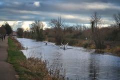 FIGHTING SWANS [ ROYAL CANAL BETWEEN BROOMBRIDGE AND ASHTOWN]-148309 (infomatique) Tags: birds swans fight wildlife nature water canal royalcanal canalwalk sony a7riii batis zeiss 135mmlens williammurphy infomatique fotonique ireland