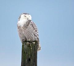 Snowy Day (Meryl Raddatz) Tags: owl snowy bird nature naturephotography wildlife canada ngc